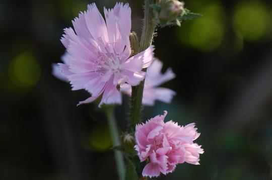 Cichorium intybus 'Roseum' (Cichorium intybus (Blue Sailors))