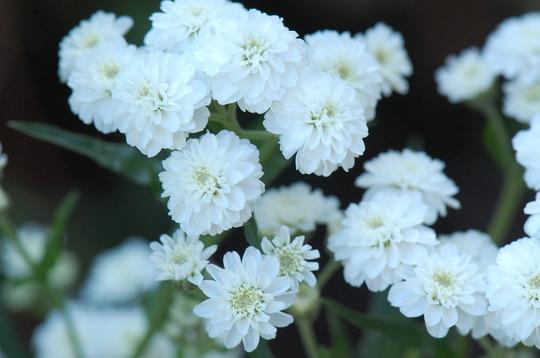 Achillea ptarmica 'Perrys White' (Achillea ptarmica (Sneezewort))