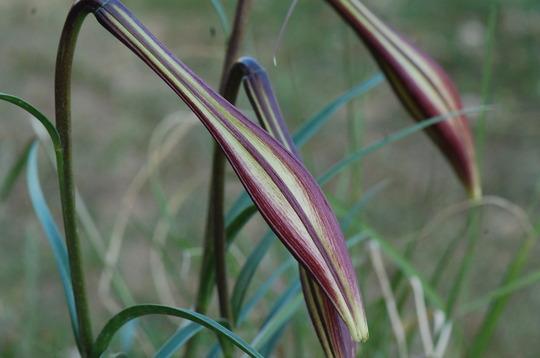 Lilium formosanum 'Pricei'. (Lilium  formosanum)