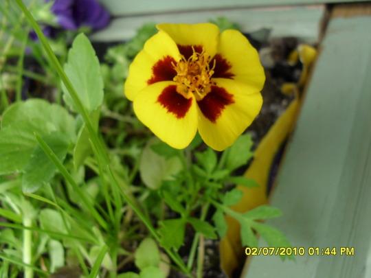naughty marietta marigold
