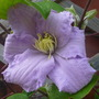 Clematis_silver_moon