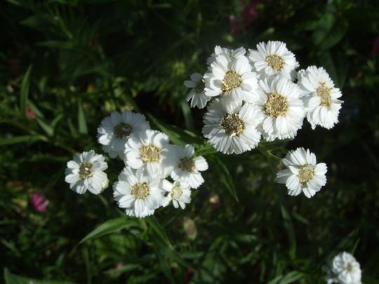 Achillea ptarmica 'The Pearl' (Achillea ptarmica (Sneezewort))