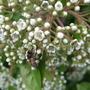 Photinia_redstart_flowers