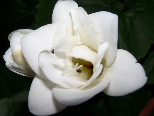 White Freesia for Freesiaperson.......... (freesia)
