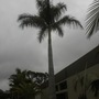 Shivering Royal Palm (Roystonea regia) in Cloudy, Gloomy San Diego, CA.  (Roystonea regia - Royal Palm)