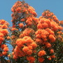Corymbia ficifolia (previously known as Eucalyptus ficifolia) - Flowering Gum Tree (Corymbia ficifolia - Flowering Gum)