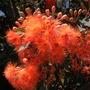 Corymbia ficifolia (pka: Eucalyptus ficifolia) - Orange Flowering Gum Tree (Corymbia ficifolia - Flowering Gum)