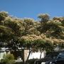Albizia julibrisin - Silk Tree (Albizia julibrisin - Silk Tree)