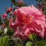 Hibiscus rosa-sinensis 'Kona Double Pink'  (Hibiscus rosa-sinensis 'Kona Double Pink')