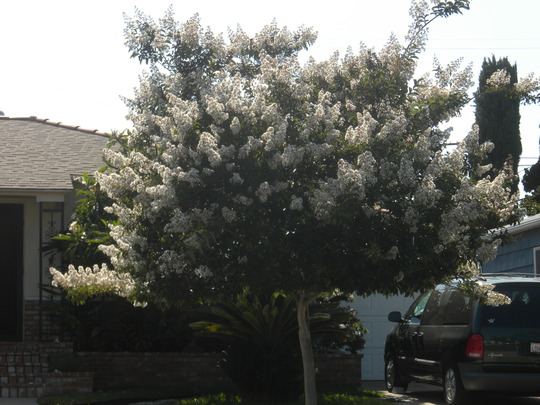 Lagerstroemia indica 'white flowers' - Crepe Myrtle Blooming (Lagerstroemia indica - Crepe Myrtle)