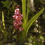 Pyrola  (Pyrola grandiflora)