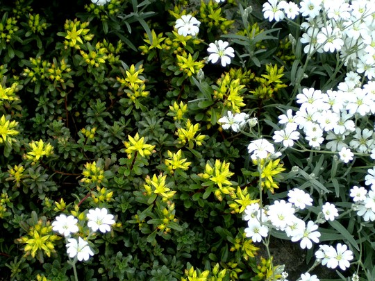 Yellow sedum just coming into flower
