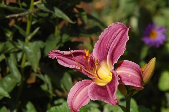 Hemerocallis 'Prairie Blue Eyes' (Hemerocallis)