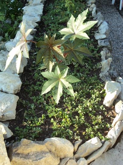 Castor oil plant and portulaca (Ricinus communis (Castor oil plant))