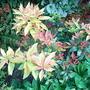 Pieris_firecrest_new_foliage