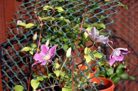 Clematis, Dr Rupple.