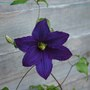 Clematis, Rhapsody.
