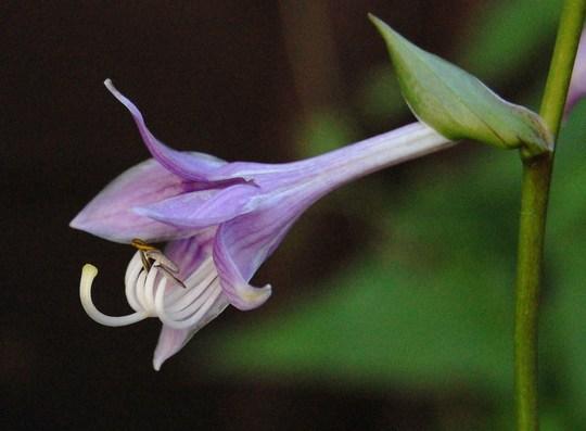 "Hosta ""Lemon Delight"" (Hosta lancifolia (Plantain lily))"