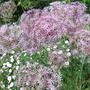 Giant Alliums at Arley