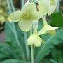 Primula_sikkimensis