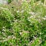 Kolkwitzia with a lot more flowers now (Kolkwitzia amabilis (American Beauty Bush))