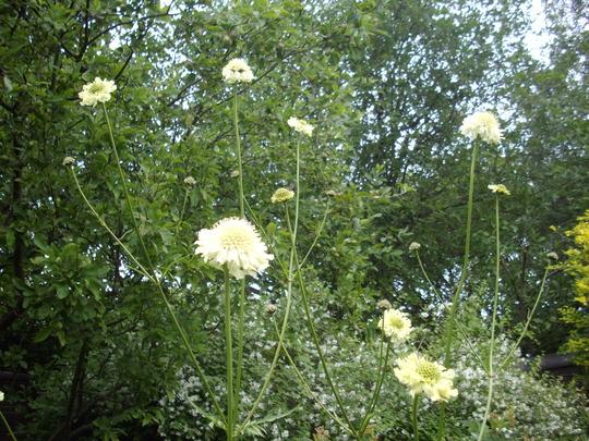Cephalaria gigantea (giant scabious) (Cephalaria gigantea)