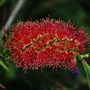 Bottlebrush. (Callistemon rigidus (Stiff Bottlebrush))