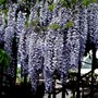 Last views of the Wisteria. It is dropping it's petals fast now. (Wisteria floribunda (Japanese Wisteria))
