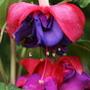 "Fuchsia ""Charlie Dimmock"" (Fuchsia Trailing)"