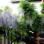 Wisteria fading on the terrace. (Wisteria floribunda (Japanese Wisteria))