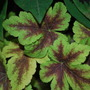 Heucherella Golden Zebra. (Heucherella Golden Zebra)
