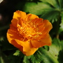 Golden Queen (Trollius xcultorm)