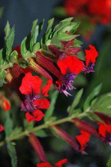Bedding plant no name?it has now Cuphea Firecracker. (Cuphea   (Cigar Flower) Firecracker.)