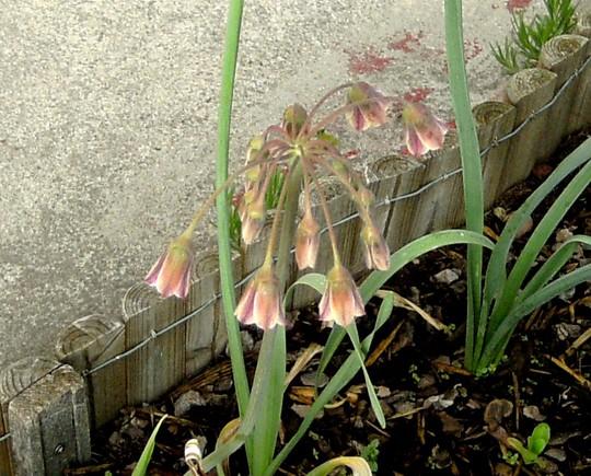 Nectaroscordum siculum (Nectaroscordum siculum (Ornamental onion))