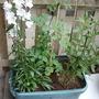 Campanula.Thalictrum_Aquilegiifolium.Lythrum_salicaria.jpg