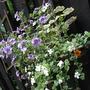 Calibrachoa_L_blue..Bacopa_wh.._Millon_bells_Or..Geranium_Contrast._Calibrachoa_wh_bl_eye.jpg