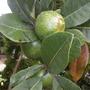 Pouteria lucuma (obovata) - Eggfruit Tree (Pouteria lucuma (obovata) - Eggfruit Tree)