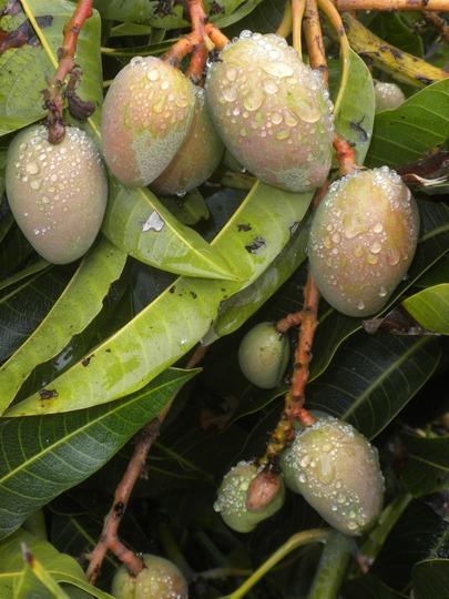 Mangifera indica - Mango (Mangifera indica - Mango)
