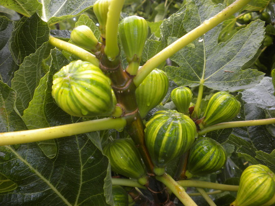 Ficus carica 'Pinache' - Pinache Fig (Ficus carica 'Pinache' - Pinache Fig)