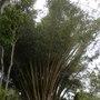 Dendrocalamus giganteus - Giant Tropical Bamboo (Dendrocalamus giganteus - Giant Tropical Bamboo)