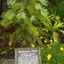 Willemia nobilis - Willemia Pine (Willemia nobilis - Willemia Pine)