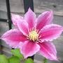 Clematis_pink