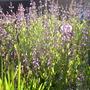 Sage common (Salvia argentea (Sage))