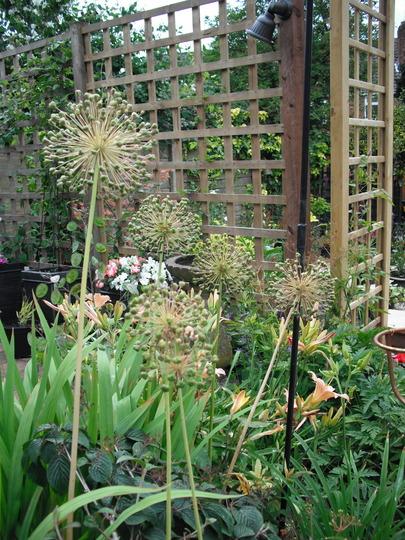 Allium Seed Heads (allium purlple sensation)