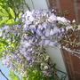 wisteria (wisteria)