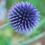 Echinops ritro Veitch blue. (Echinops ritro (Globe thistle))