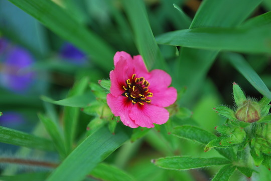 Potentilla Miss Willmott. (Potentilla nepalensis (Cinquefoil Miss Willmott))