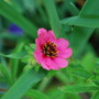 Potentilla Miss Willmott. (Potentilla nepalensis (Cinquefoil Miss Willmott))