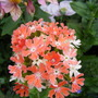 Lychnis_chalcedonica_Apricot.