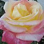 Color Changing Rose - May 2008 (Rosa)